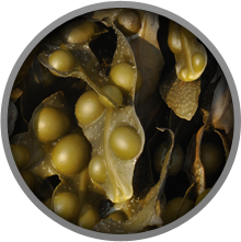 Bladderwrack is a form of Kelp